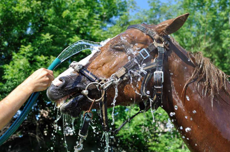 马在炎热的天气中冲冷水澡