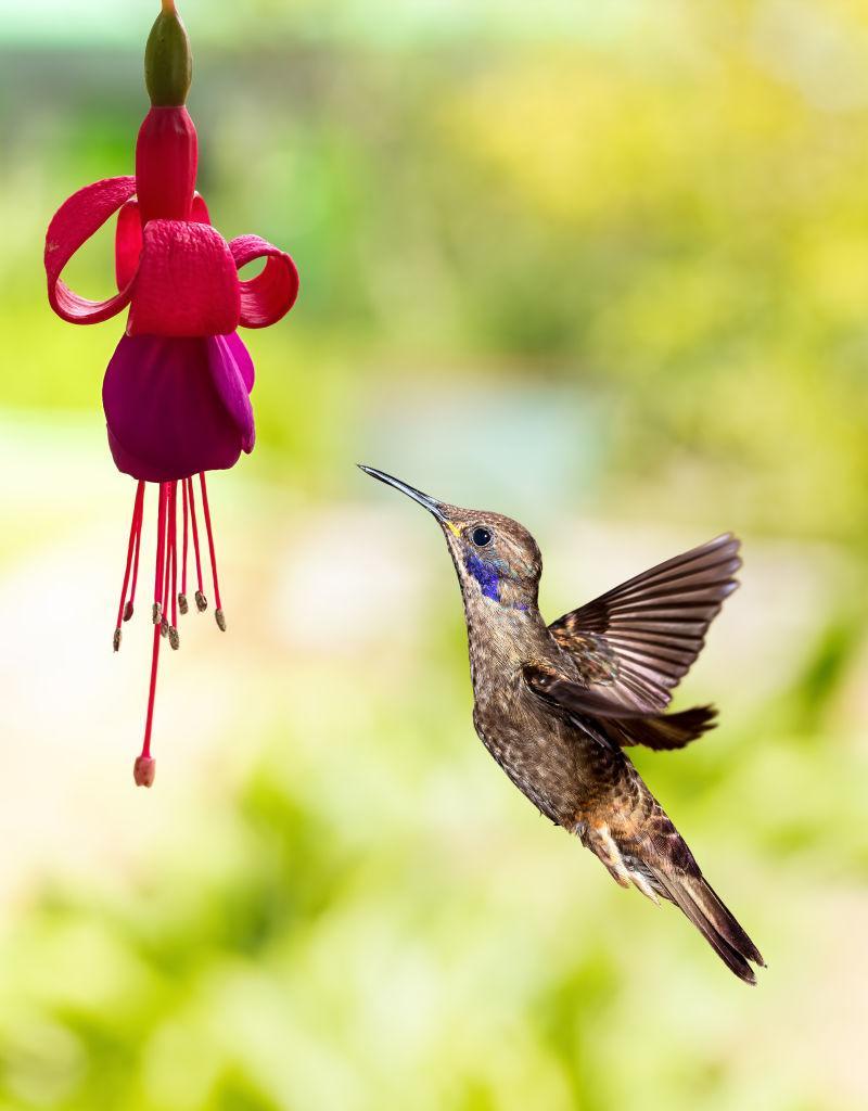 紫红色的花和飞舞的蜂鸟