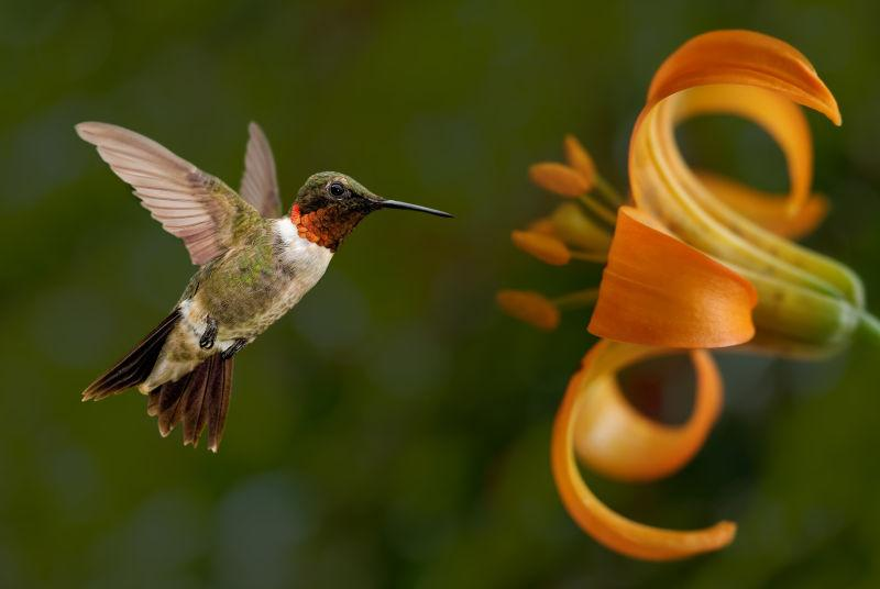 绿色背景下的黄色花卉和蜂鸟