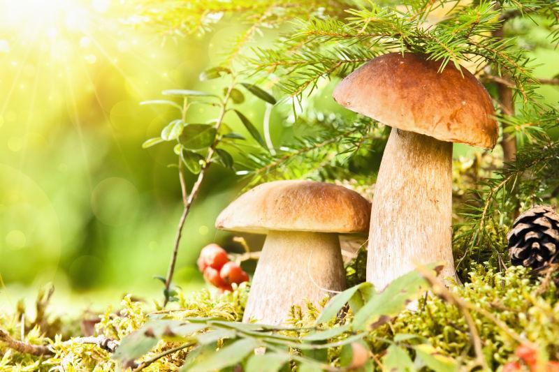 鲜艳的野生蘑菇