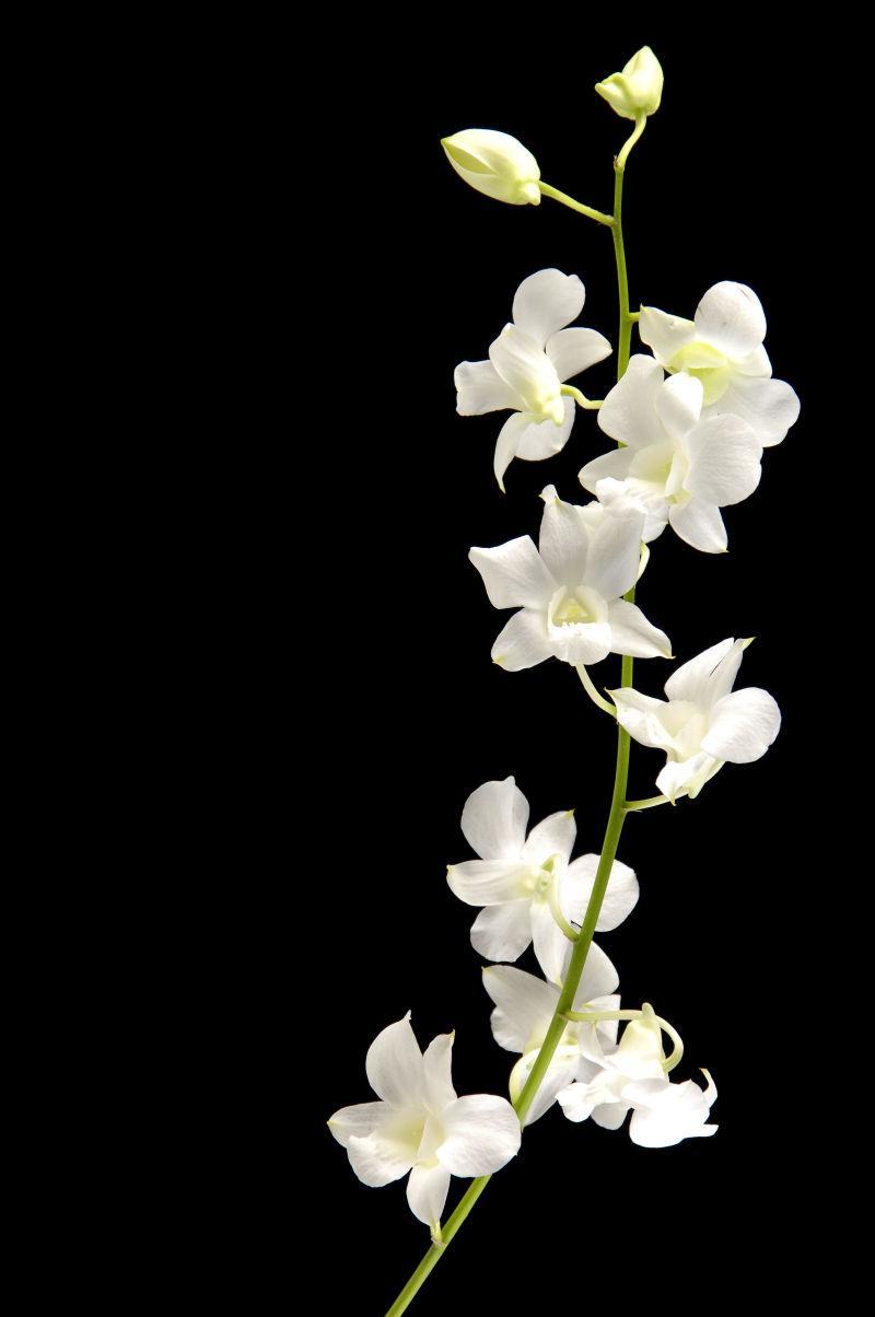黑色背景下的兰花茎