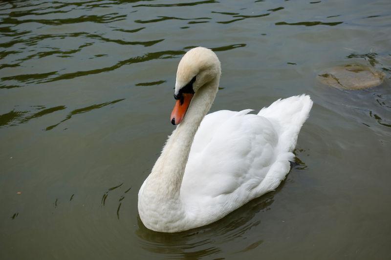 池塘上的白天鹅