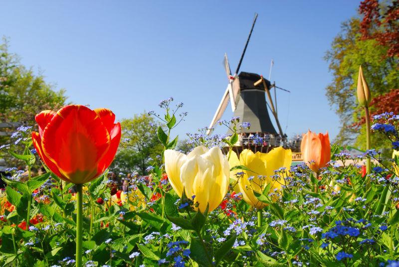 荷兰风车和五颜六色郁金香