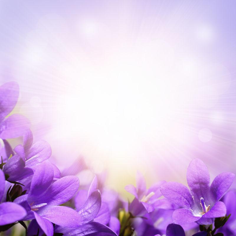 美丽绽放的紫罗兰
