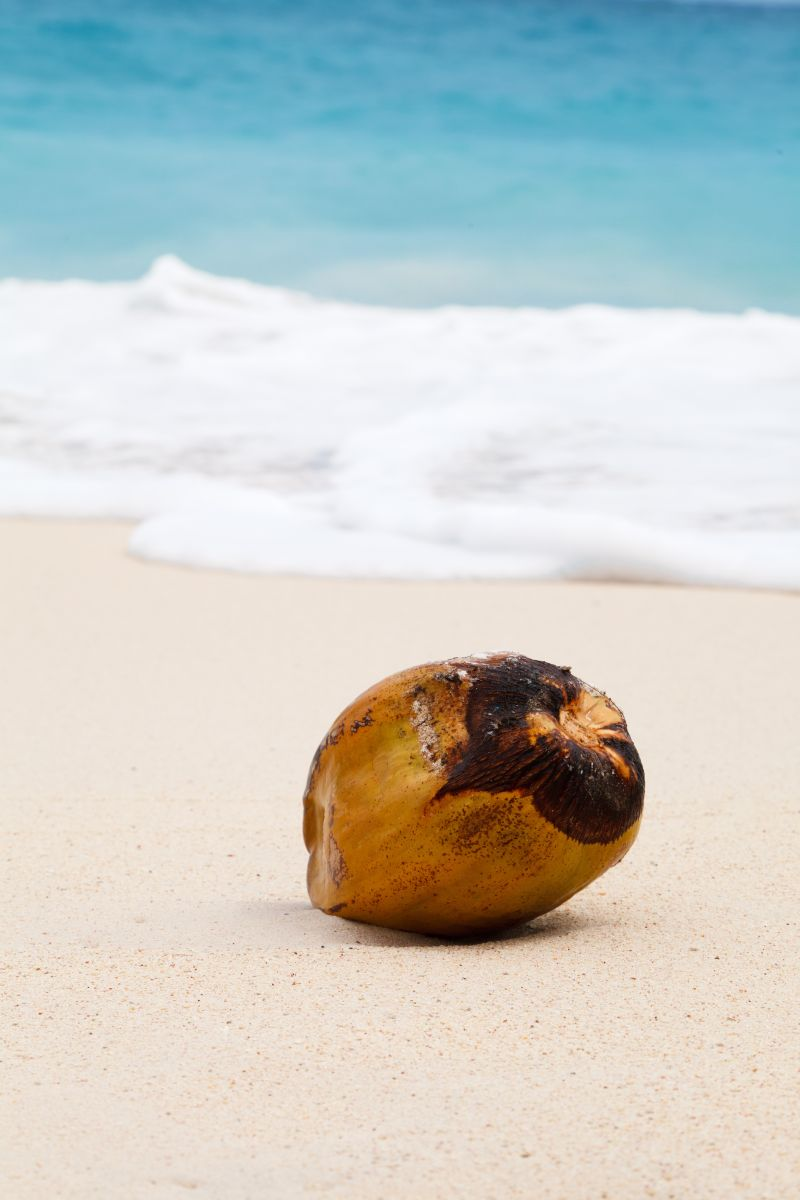 海边的椰子