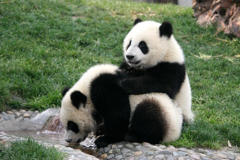 在草地上玩耍的大熊猫