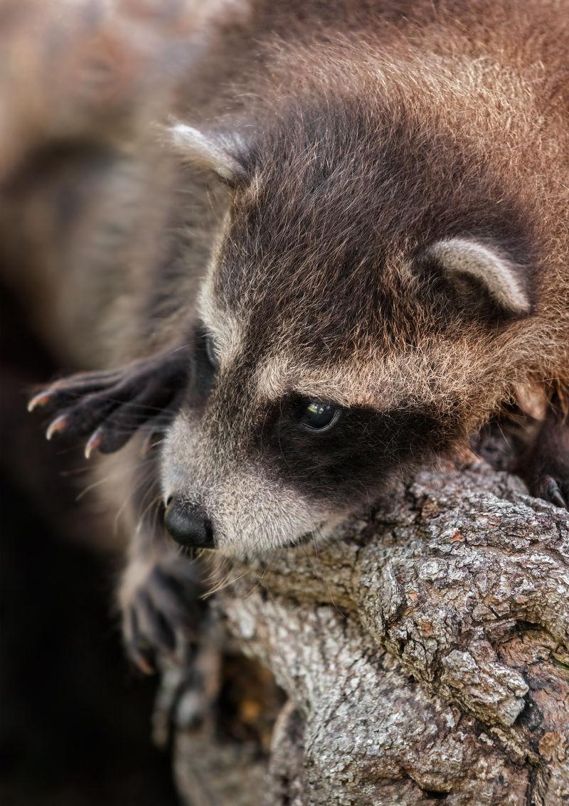 可爱的宝贝小浣熊
