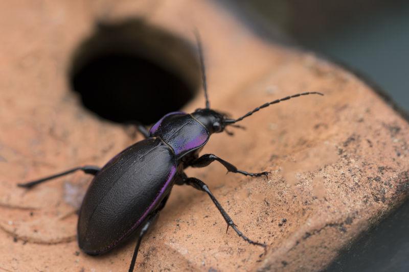 紫罗兰甲虫Carabus Violaceus