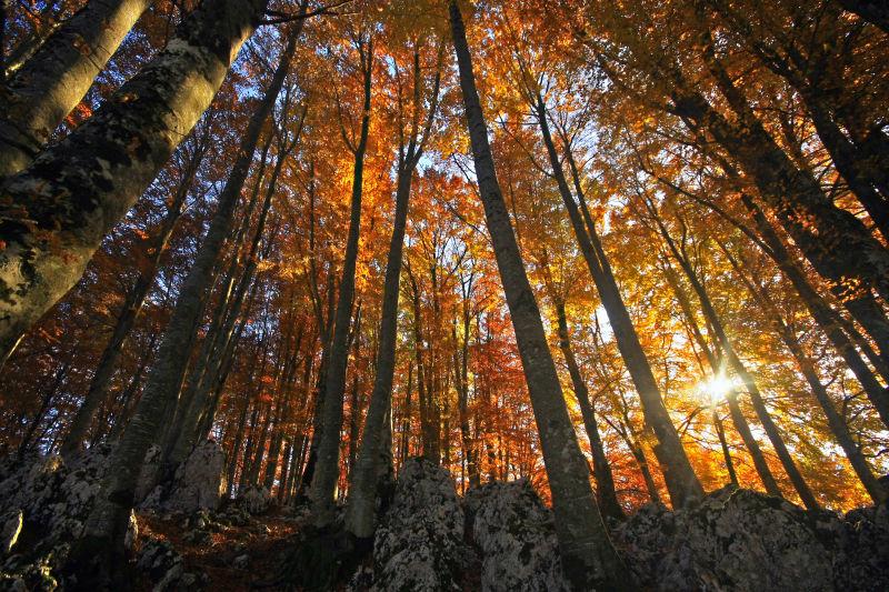 在枫树森林日落的美丽景色
