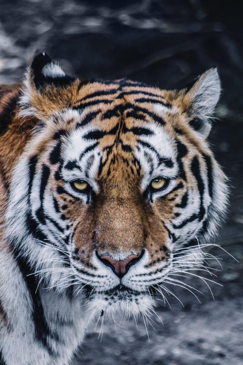 西伯利亚虎脸肖像