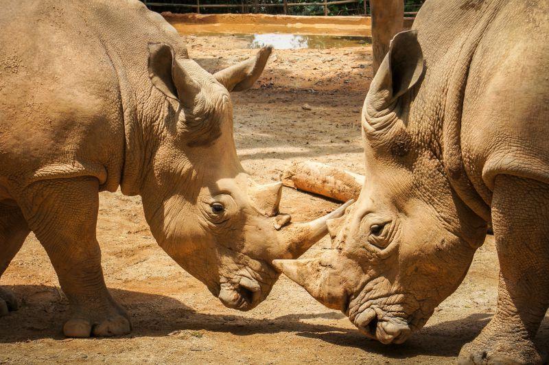 两只犀牛的角触碰