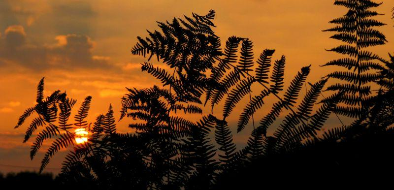 日落下燃烧红色的蕨类植物叶子
