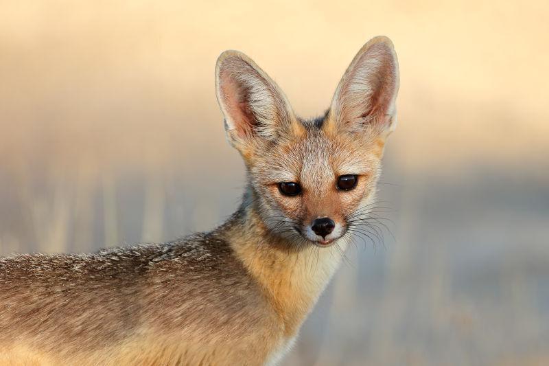 南非卡拉哈里沙漠角狐肖像