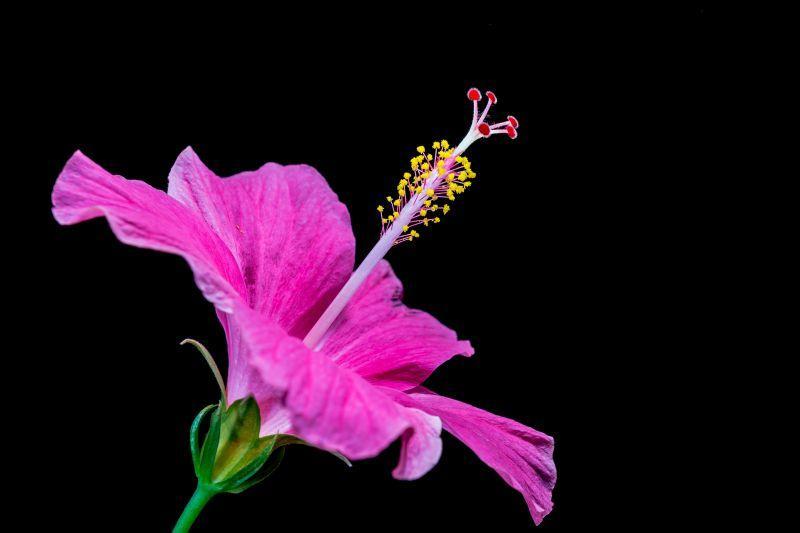 黑色背景上美丽的紫红色木槿花