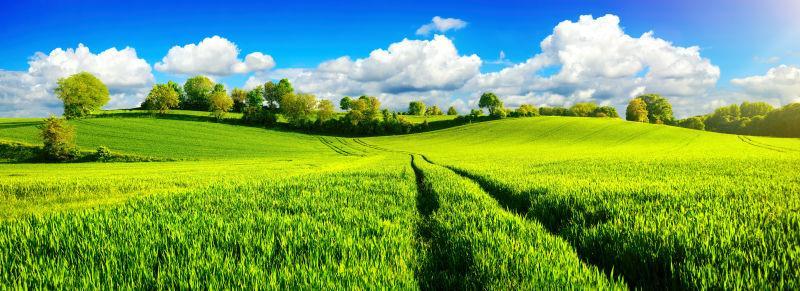 绿色麦田和绿树的自然景观