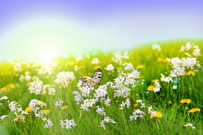 白色和黄色的花上飞舞的蝴蝶