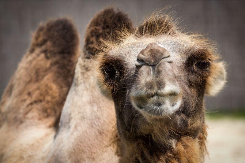 骆驼看着镜头