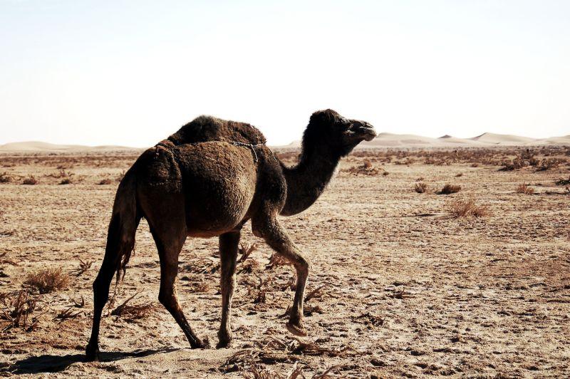 行走的骆驼