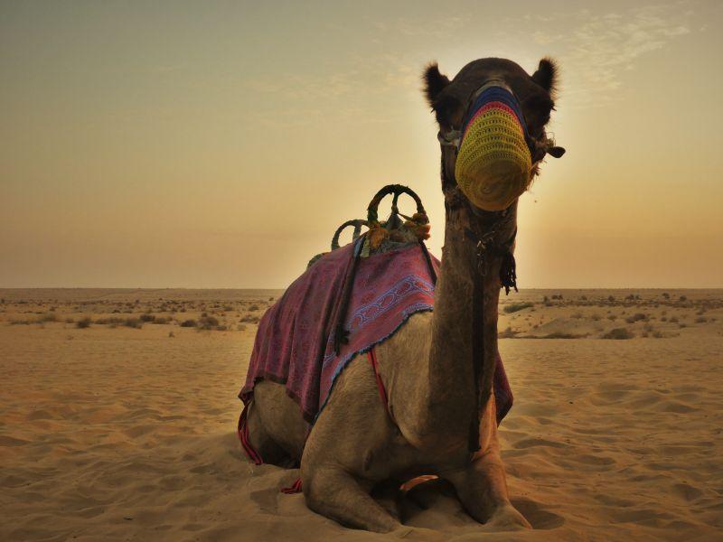 骆驼看向镜头