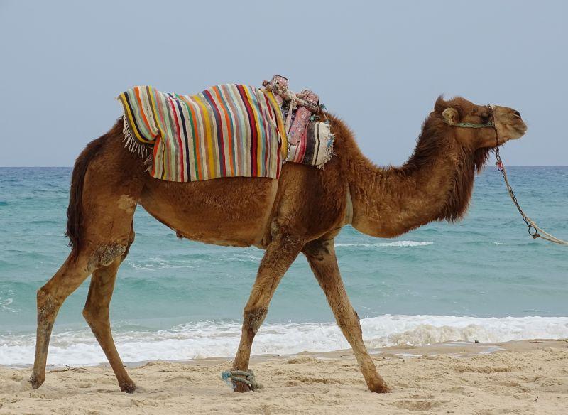 海边的骆驼