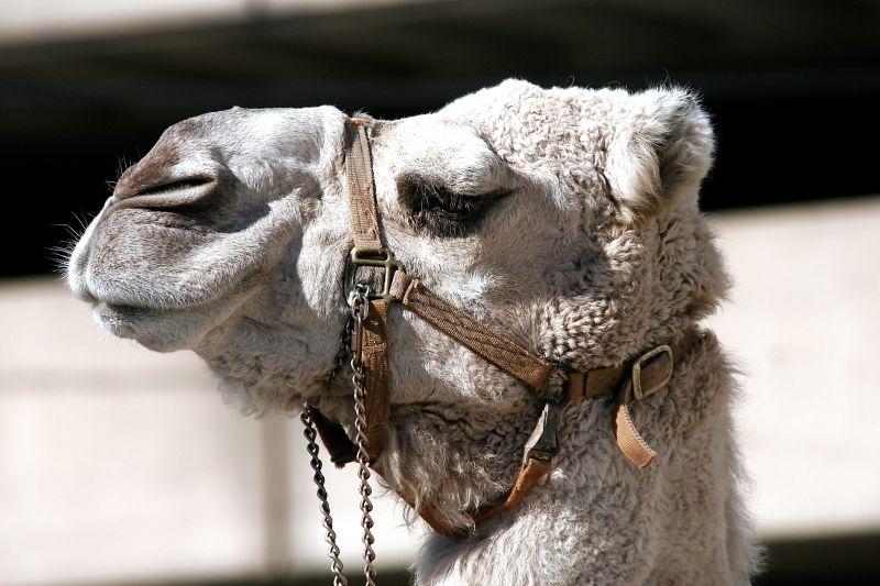 闭眼的骆驼