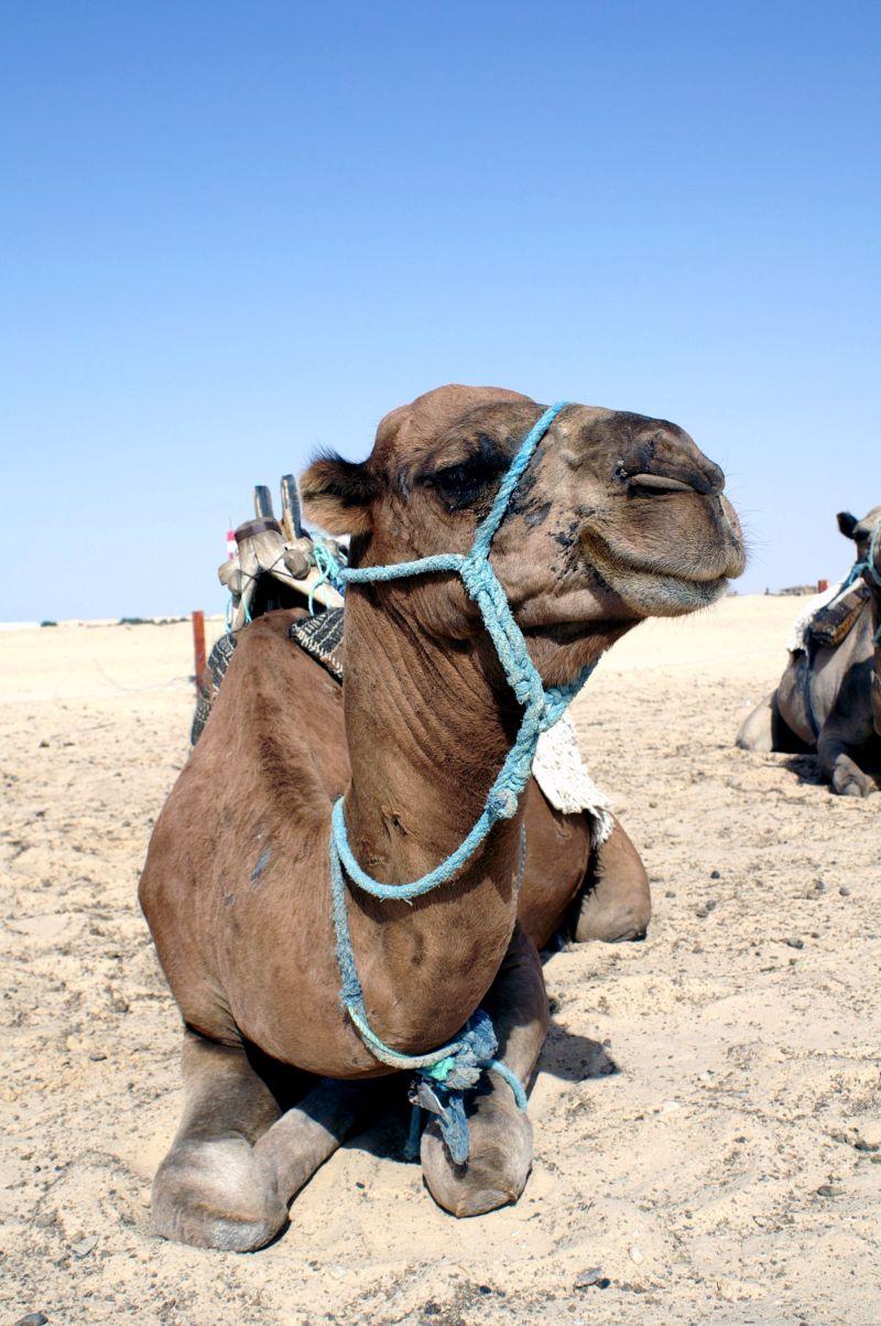 跪在沙漠上的骆驼