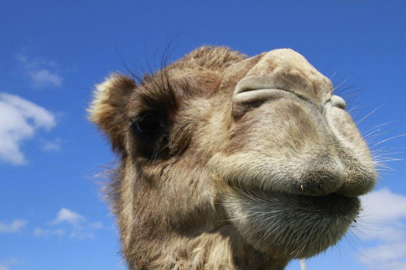 蓝天下骆驼看镜头