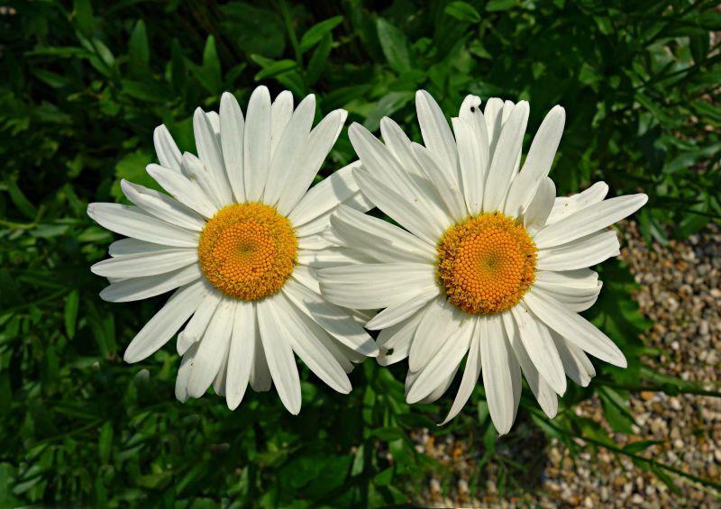 绿色草地上的两朵白色花瓣黄色花蕊的雏菊