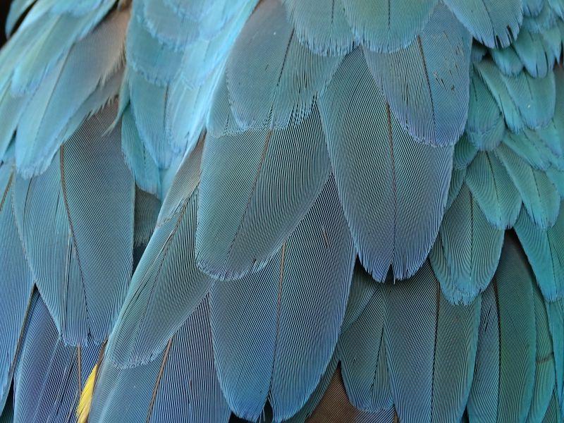 蓝色羽毛翅膀