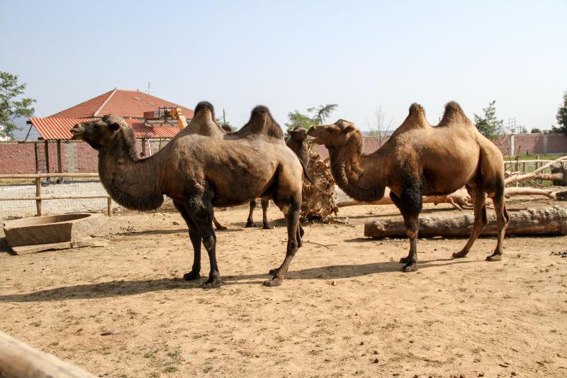 公园里的双峰骆驼