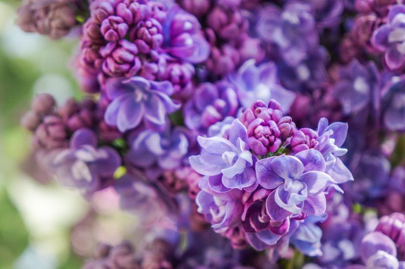 花园里绽放的美丽丁香花