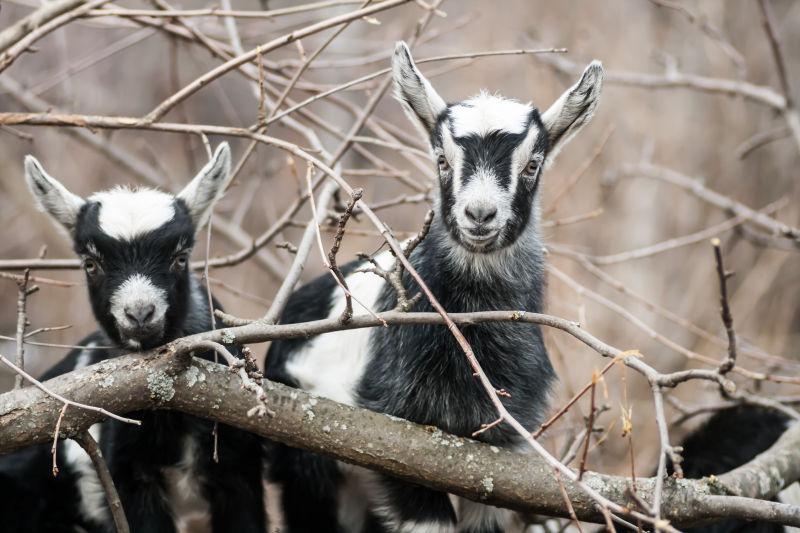 几只小山羊在森林里