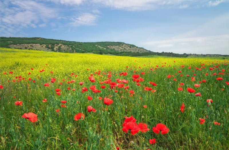 草地上的罂粟花