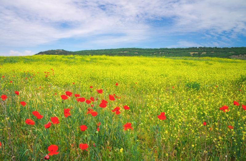 绿色草地上的红色罂粟花