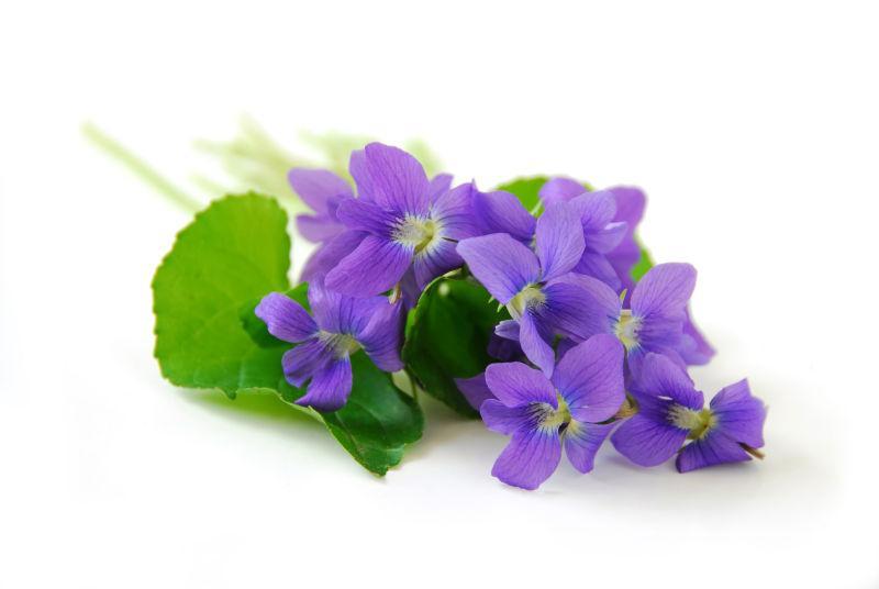 白色背景紫罗兰