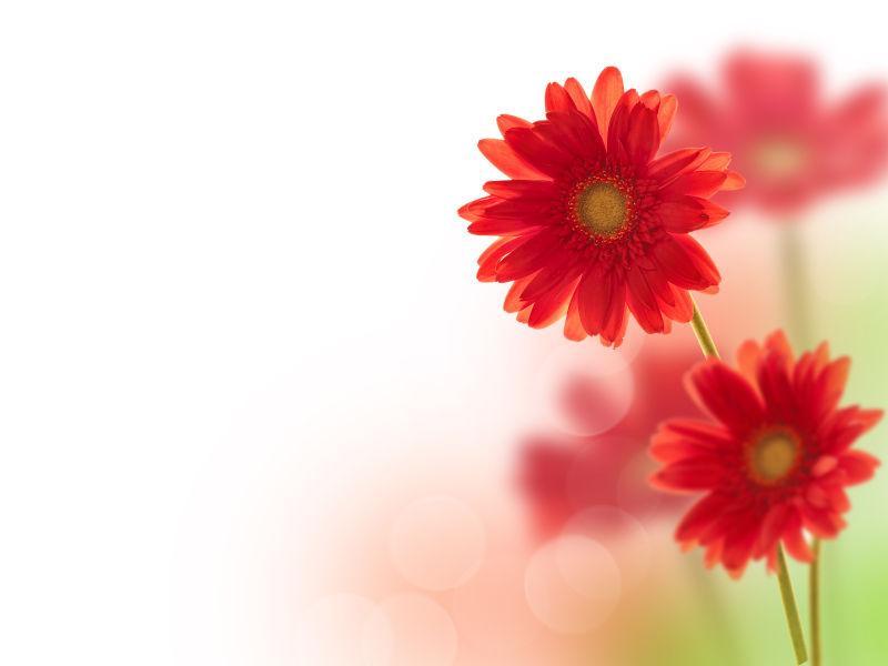 Gerberas胭脂花朵
