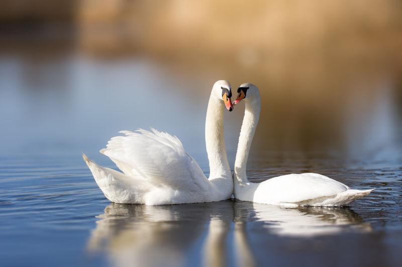 湖面上的两只白天鹅