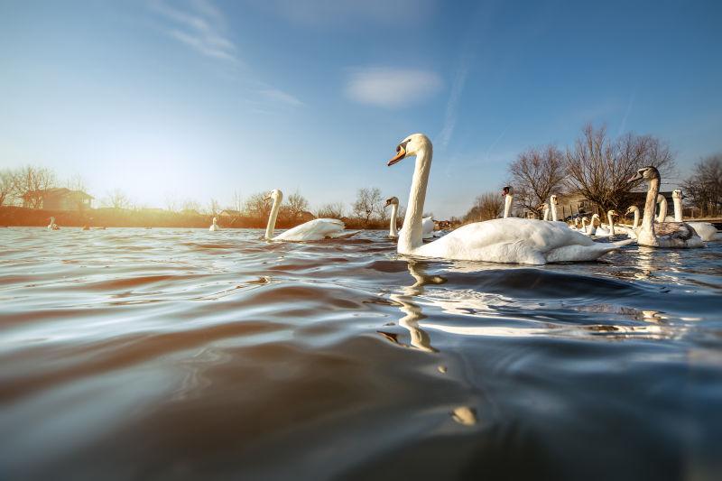 湖面上美丽的白天鹅