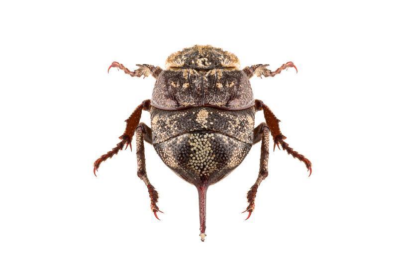 白色背景下的甲壳虫