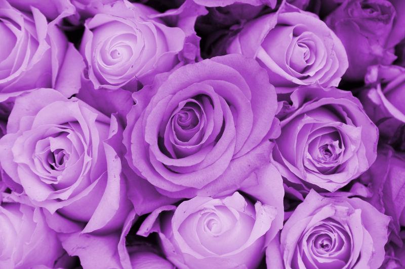 好看的紫色玫瑰