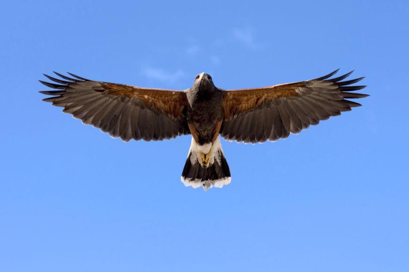 飞行中的哈里斯鹰