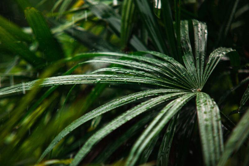 在雨天的绿色棕榈叶的水滴