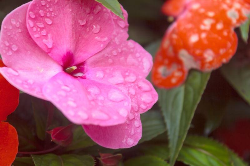 花瓣上的雨滴