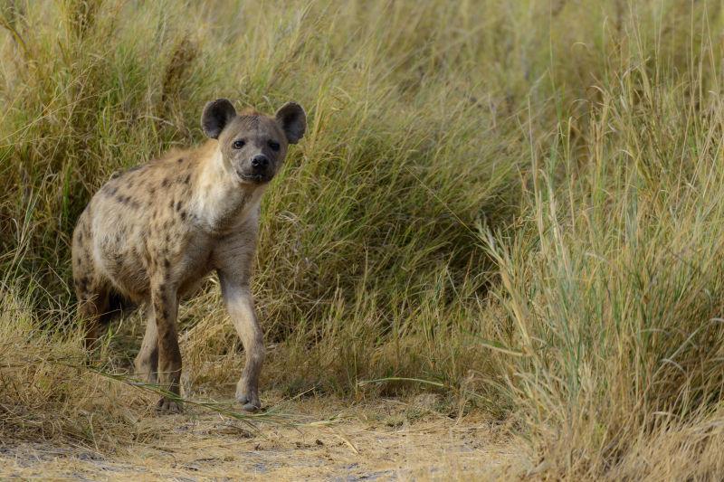 斑鬣狗在散步