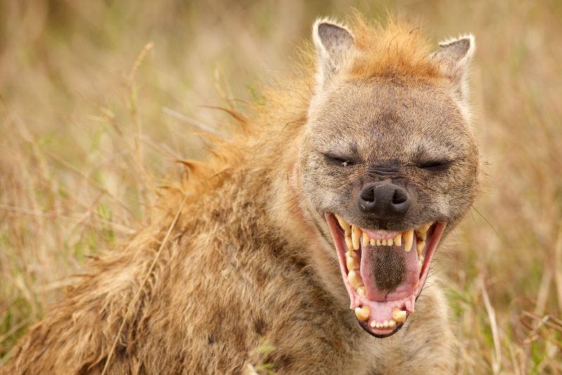 动物鬣狗笑逐颜开