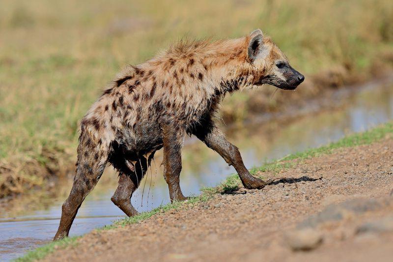 斑点鬣狗在自然栖息地