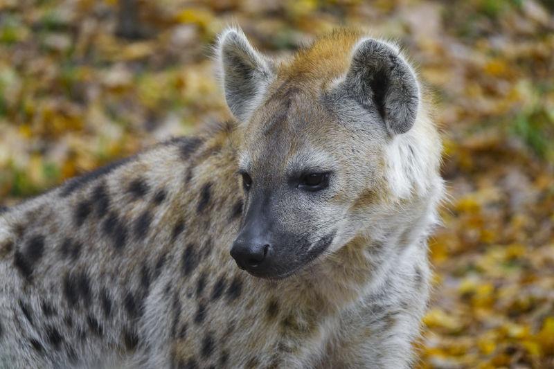斑鬣狗鬣狗科