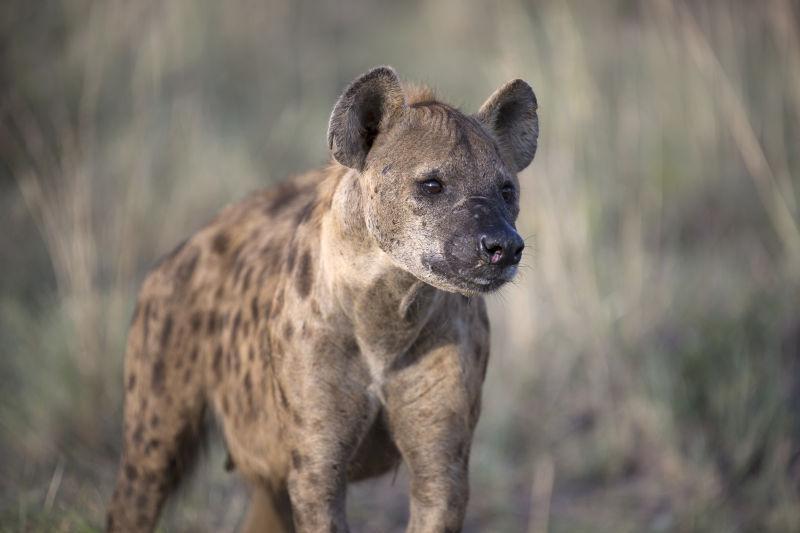 非洲斑鬣狗