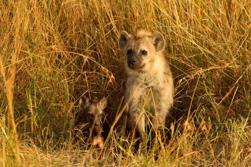 小斑点鬣狗刚从它们的洞里出来