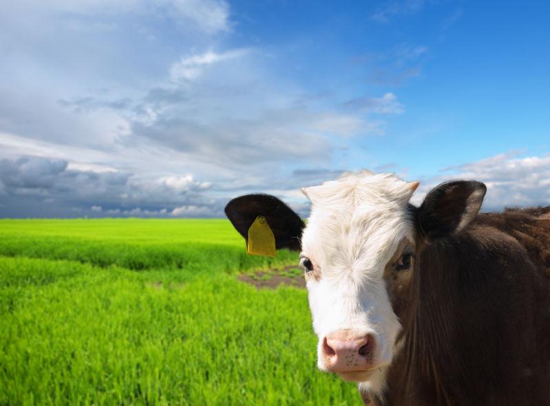绿色草地上的奶牛